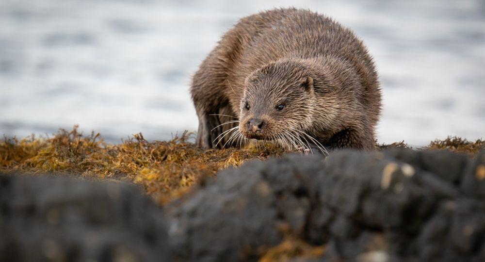 Female European Otter (Lutra lutra) walking along the loch shore