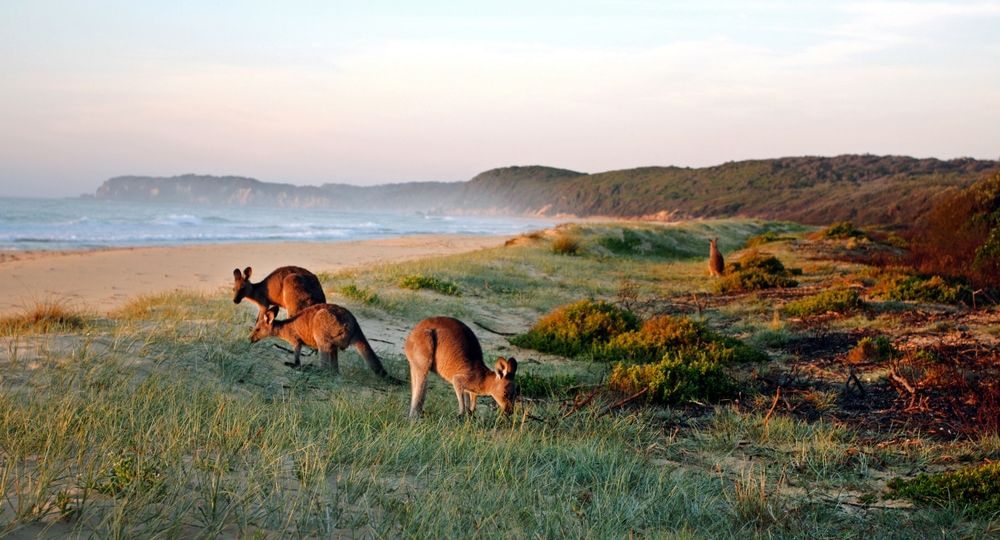 Kangaroos Grazing on the Beach