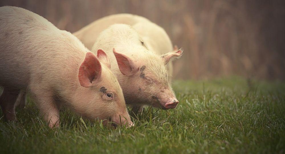 little pigs on meadow