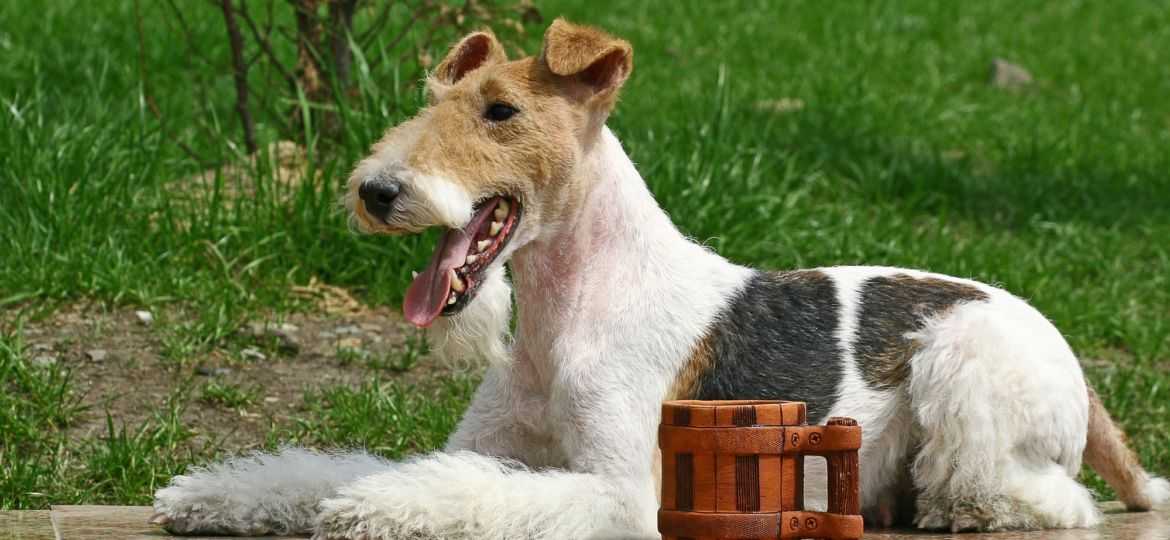 Wire Fox Terrier and a cup