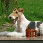 The Wire Fox Terrier is a breed of dog, one of many terrier breeds. It is an instantly recognizable fox terrier breed. Although it bears a resemblance to the Smooth Fox Terrier, they are believed to have been developed separately.
