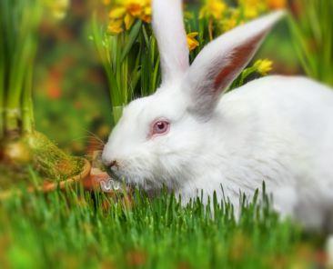 Little white rabbit, spring flowers on background blured